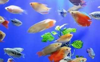 Лабиринтовая рыбка название