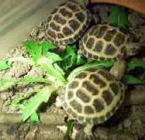 Панофтальмит у черепахи