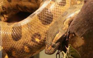 Крупная змея семейства удавов