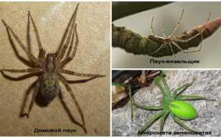 Большие белые пауки в подмосковье