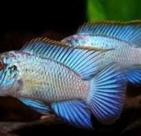 Нанокара рыба фото