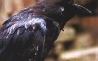 Строение крыла вороны
