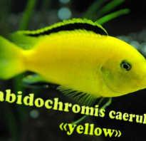 Рыба желтого цвета