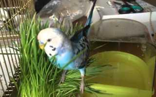 Зелень для попугаев волнистых