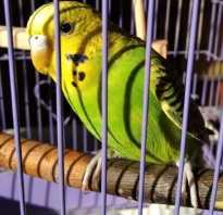 Волнистый попугай чихает что делать
