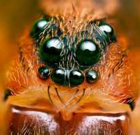 Тип глаз у паукообразных