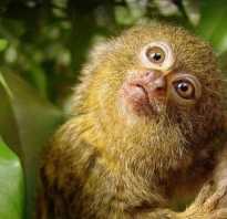 Обезьяны тропических лесов