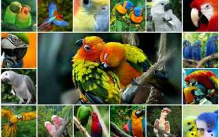 Зеленые попугаи порода
