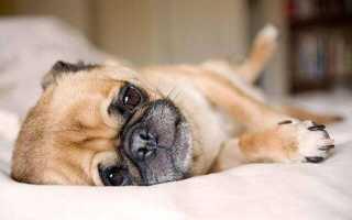 Чем вывести глистов у собаки