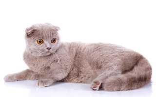 С кем сводить шотландскую вислоухую кошку