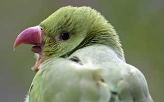 Почему попугай кусается