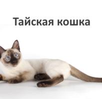 Ред пойнт кот