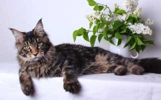 Мейн кун: чем кормить котят, характер, описани и повадки