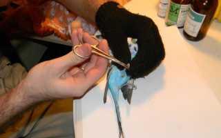 Стрижка когтей у попугаев