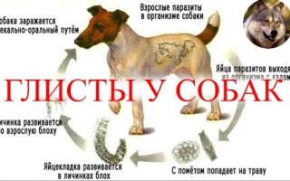 Виды глистов у щенков