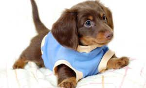 Когда можно гулять с щенком: со скольки месяцев можно, сколько раз в день