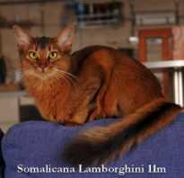 Окрасы сомалийских кошек