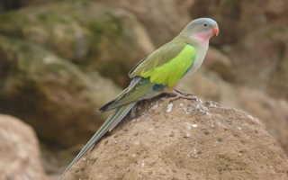 Горный попугай цена