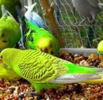 Что можно есть попугаю волнистому