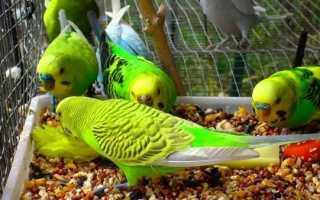 Чем кормить домашнего попугая