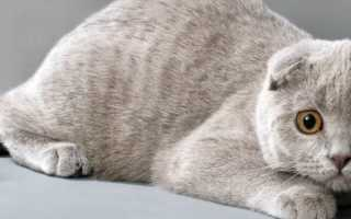 Шотландский вислоухий кот расцветки