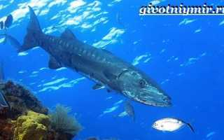 Барракуда это рыба
