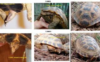 Как отличить самца от самки черепахи