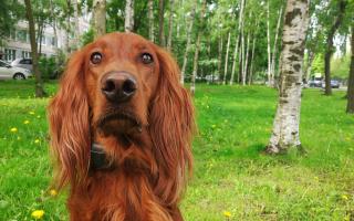 Собака чаппи порода