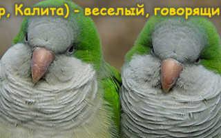 Квакеры попугаи цена