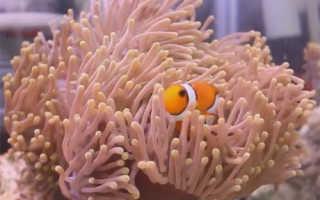 Рыба клоун симбиоз