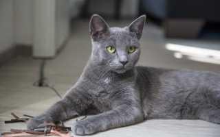 Кот голубого окраса