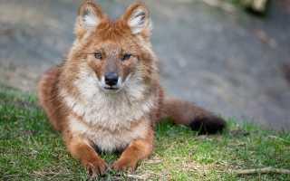 Описание красного волка из красной книги