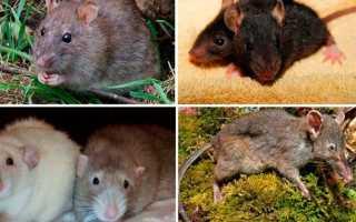 Фото крысят маленьких диких