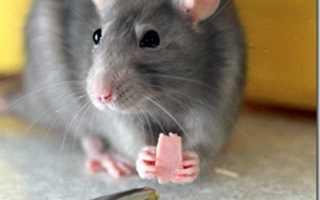 Декоративные крысы дамбо купить