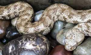Змеи сирии фото