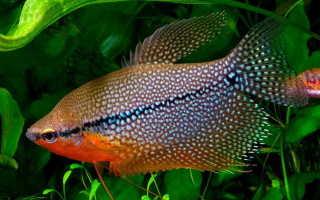 Гурами жемчужный совместимость с другими рыбами