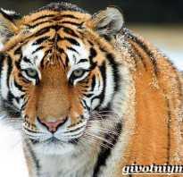 Уссурийский тигр обитатель лесов