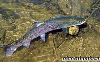 Таймень рыба описание