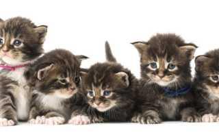 Сколько лет живут мейн куны кошки