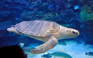 Оливковая черепаха красная книга