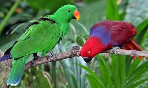 Благородный попугай эклектус — подвиды, уход и содержание