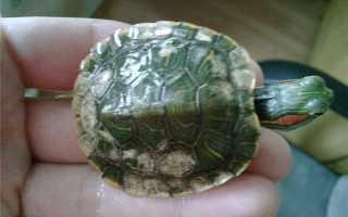 Белый налет на панцире красноухой черепахи