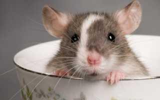 Как содержать домашнюю крысу