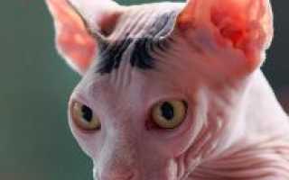 Сфинкс это кошка