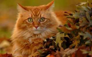 Фото рыжего кота с рыжими глазами