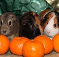 Можно ли морским свинкам мандарины
