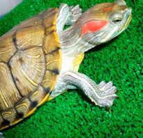 Пол красноухих черепах