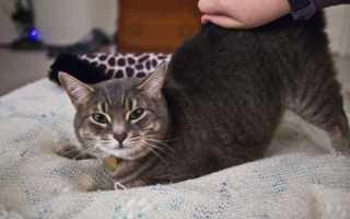Кошка метит территорию во время течки: что делать, какие препараты и способы использовать