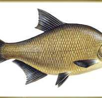 Что за рыба лещ