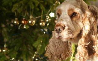 Кокер спаниель фото собаки все виды